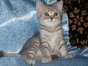 ...   Продам британского котенка ...